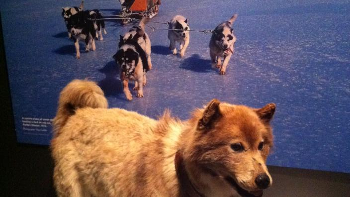 A taxidermied husky mounted near an Antarctica display