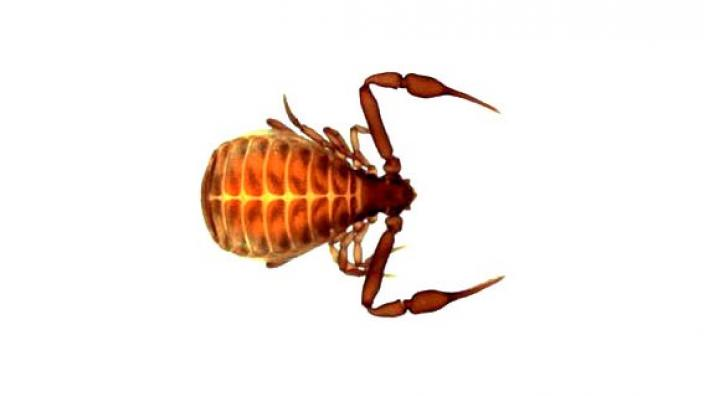 A pseudoscorpion on a plain white background Photograph by Mark Harvey. Image Copyright WA Museum.