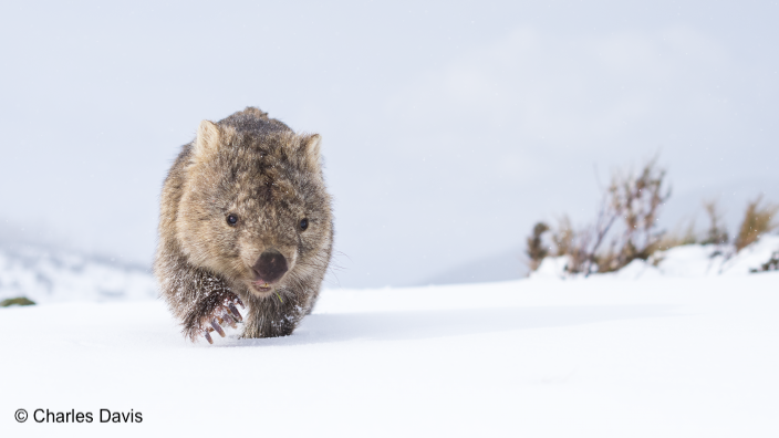 """""""A Guthega Wombat in snow to the left walking towards the photographer."""""""