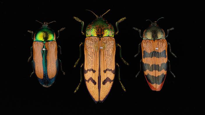 Three yellow beetles on a black background