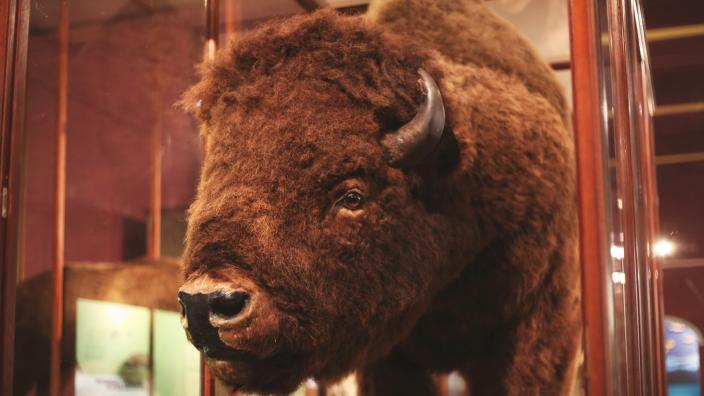 A close up of a taxidermied bison