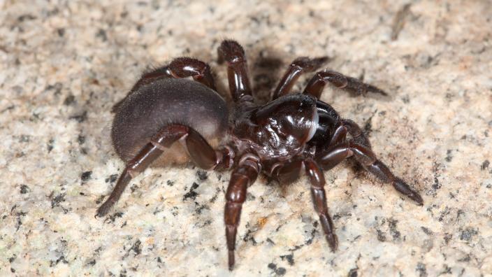 Female trapdoor spider of the genus Eucyrtops from Western Australia