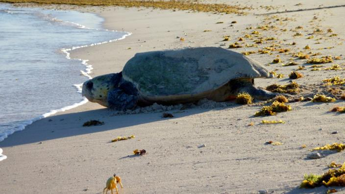 A sea turtle crawling over the beach to return to water
