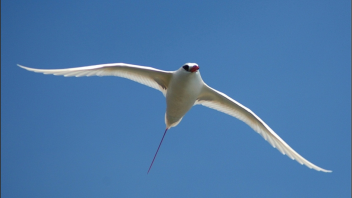Red-tailed Tropicbird