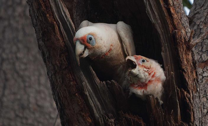 Eastern Long-billed Corella with Chick. Photo by Tony Kirkby