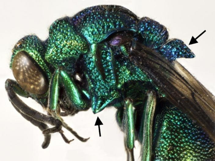 View of the cuckoo wasp showing were the mid processes of the thorax are
