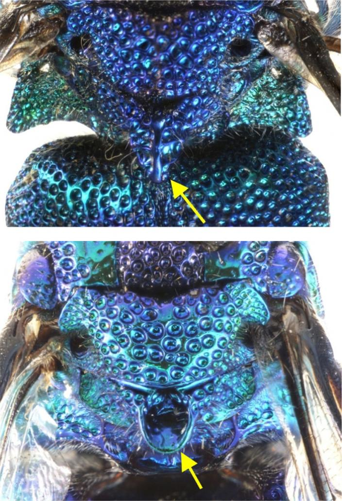 View of the cuckoo wasp highlighting the thorax