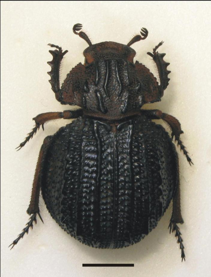 A large black, pinned beetle
