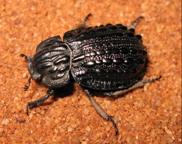 A black beetle crawling across orange sand