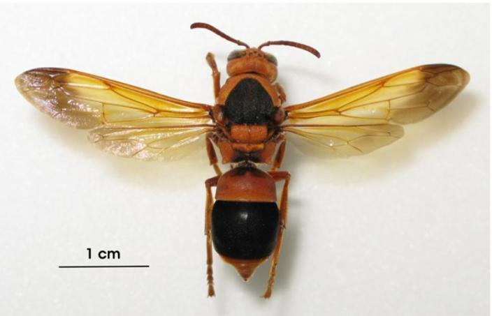 A pinned wasp specimen, around 5cm across