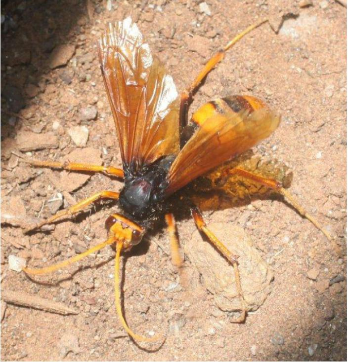 A large colourful wasp on the ground