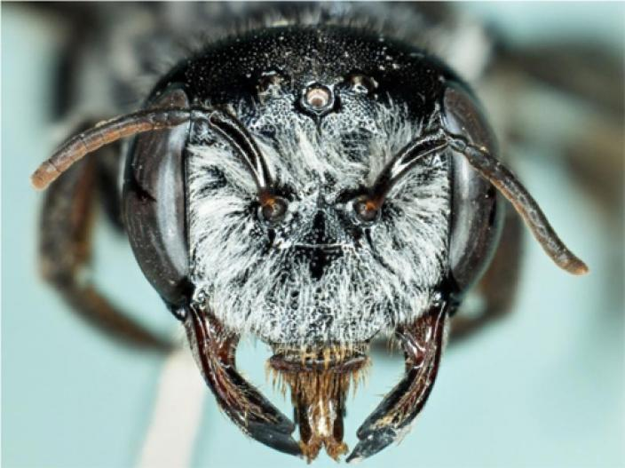 Close up view of the female megamouth bee showing facial features