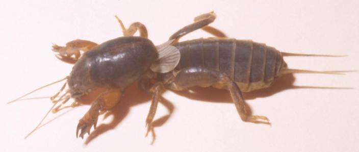 A preserved and mounted insect, similar to a cricket - a wingless Mole Cricket