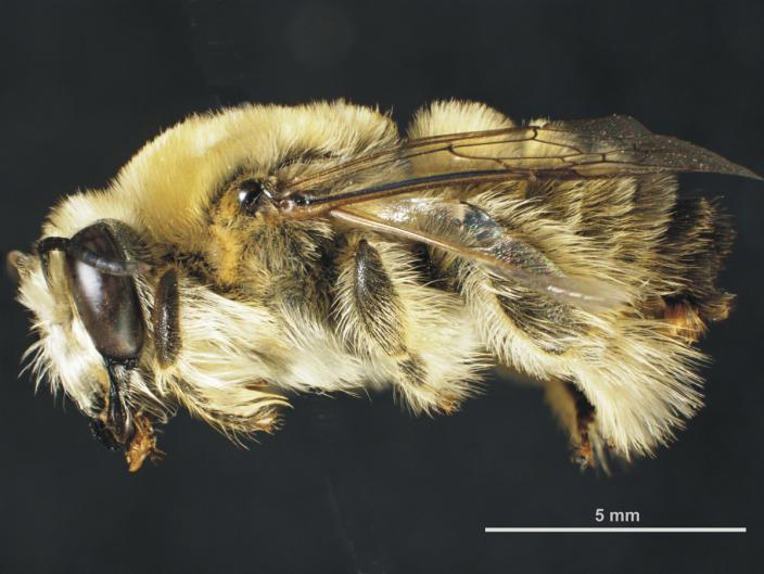 Mounted male specimen of the Shaggy Spined Bee
