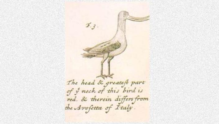 Hand drawn of an unknown bird