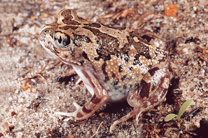 Humming Frog