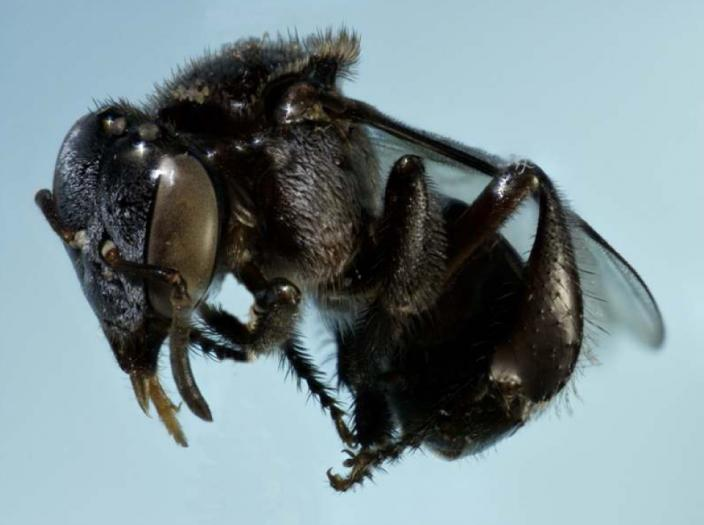 Image of the sugarbag bee, mid flight