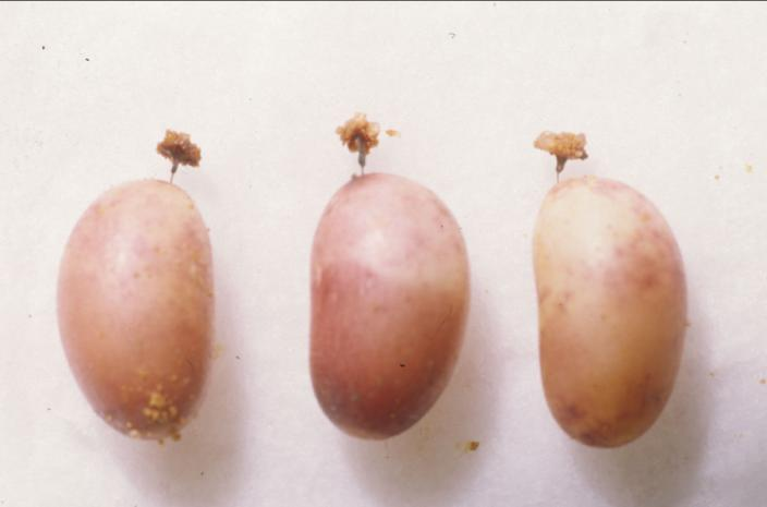 Photo of three, pinky white eggs with attached pedicels.