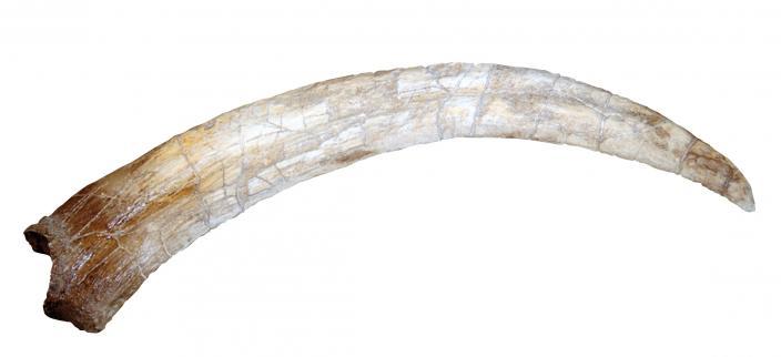 Hand claw of Therizinosaurus (replica)