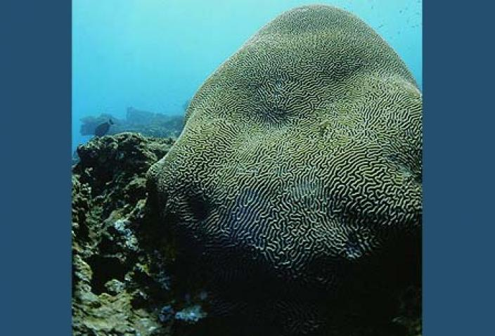Image of a Brain Coral colony (Platygyra).