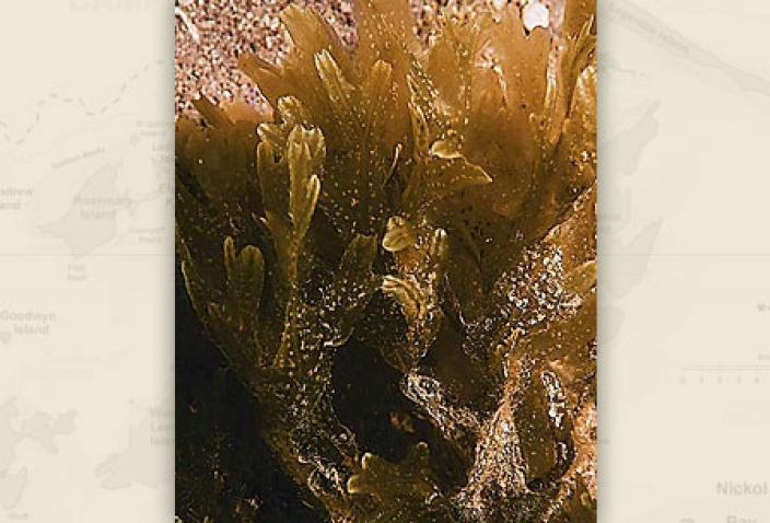 Image of Brown Algae, Dictyopteris woodwardi.