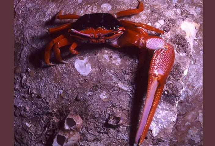 """Image of """"Darwin Red Legs"""" Fiddler Crab (Uca flammula)."""