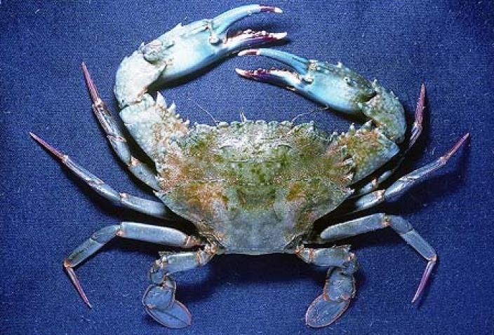 Image of Notched Swimmer Crab (Thalamita crenata).