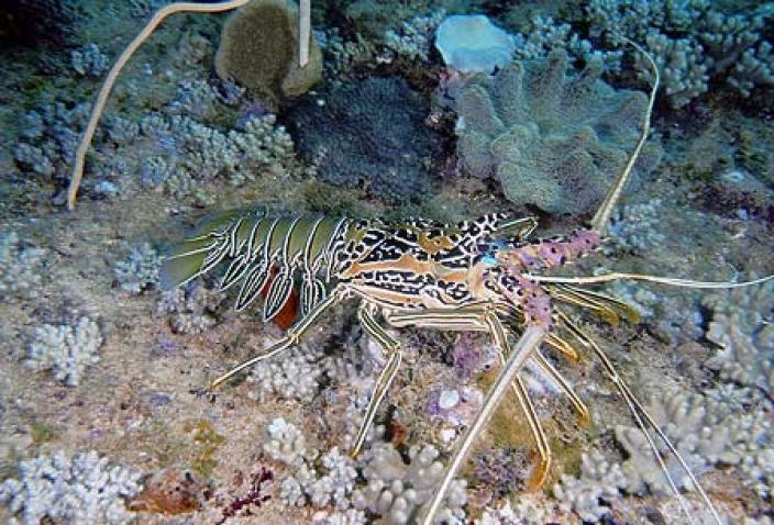 Image of a Painted Rock Lobster (Panulirus versicolor).