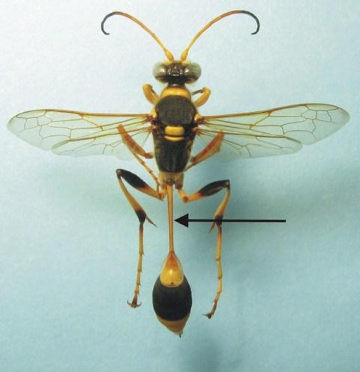 Mounted specimen of the slender mud-dauber wasp
