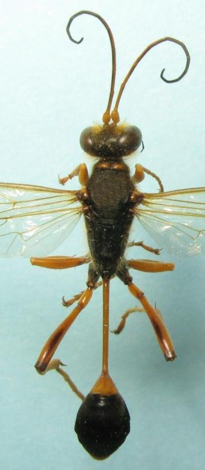 View of a mounted wasp specimen