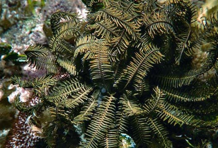 Image of a Feather Star