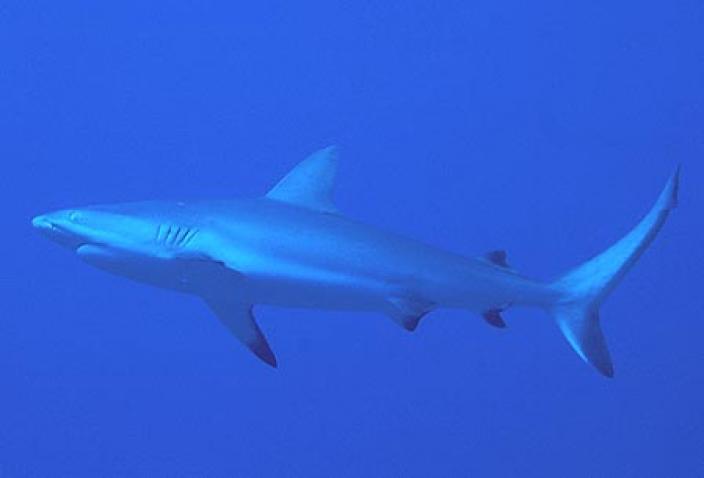 Image of a Grey Reef Shark (Carcharhinus amblyrhynchos).