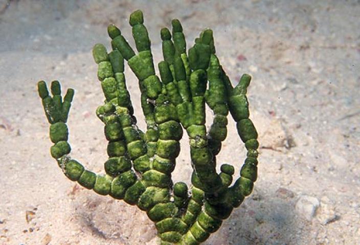 Image of Green Algae, Halimeda cylinracea.