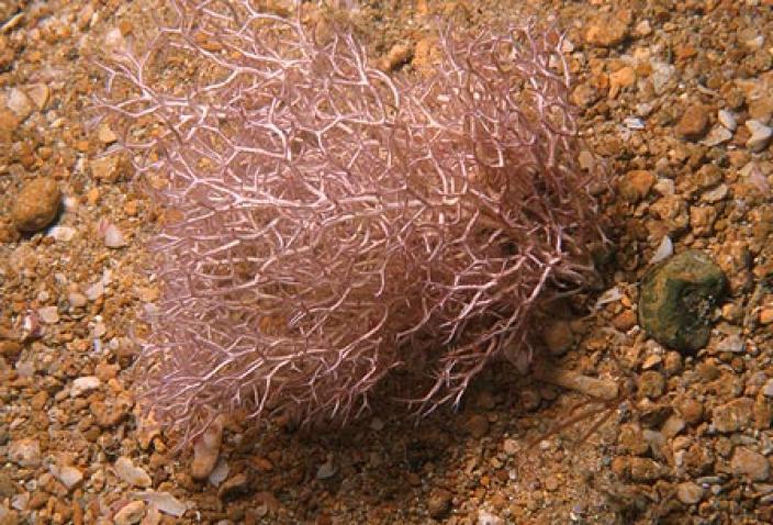 Image of Red Algae, Liagora ceranoides.