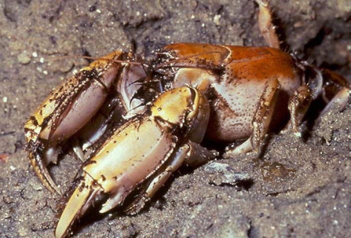 Image of Mangrove Lobster (Thalassina squamifera).