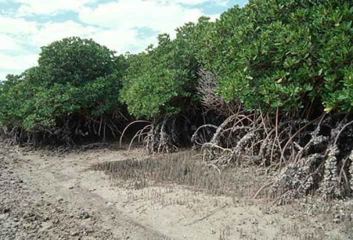 Image of Dampier Archipelago Mangroves