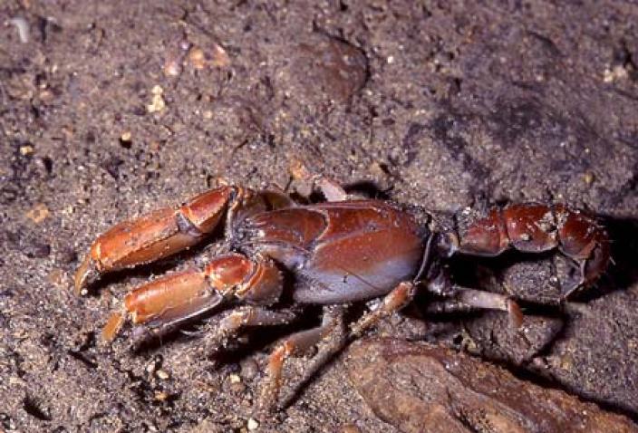 Image of a Mangrove Lobster (Thalassina squamifera).