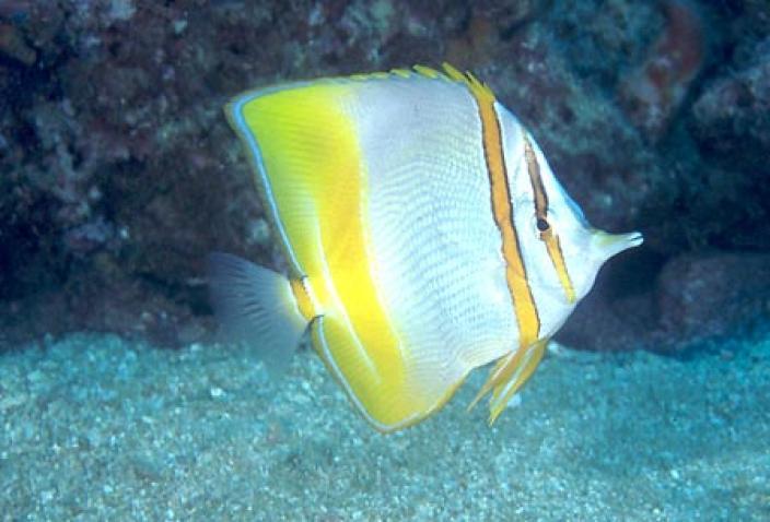 Image of a Margined coralfish (Chelmon marginalis).