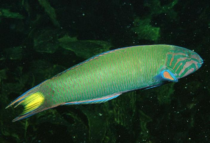Image of a Moon Wrasse (Thalasoma lunare).