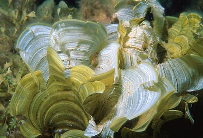Image of Brown Algae, Padina elegans.