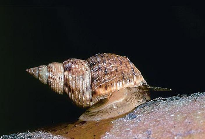 Image of Littoraria pallescens.