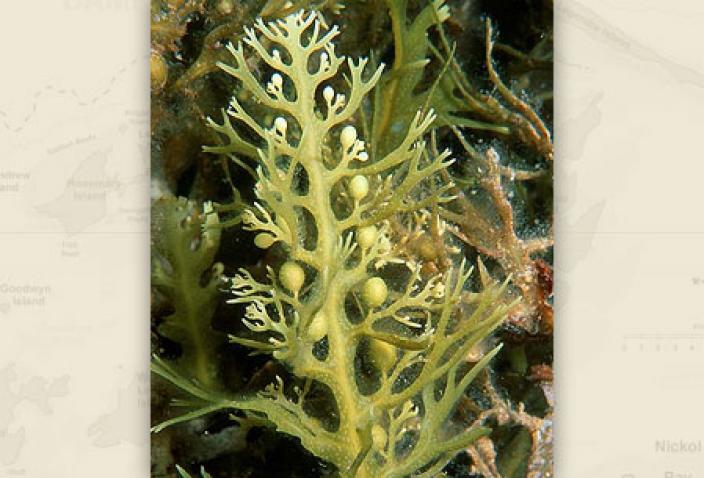 Image of Brown Algae, Saragassum decurrens.