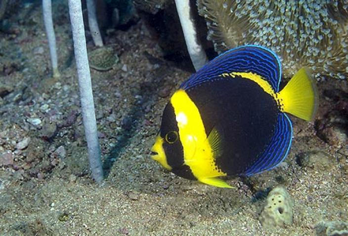 Image of a Scribbled angelfish (Chaetodontoplus duboulayi).
