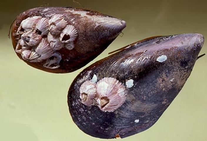 Image of Triangular Barnacle (Balanus trigonus).