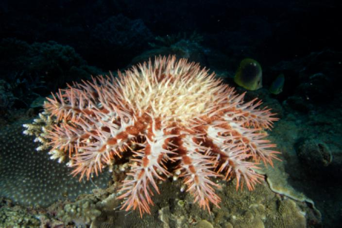 Image of a spiny sea star which belongs to the species Acanthaster planci