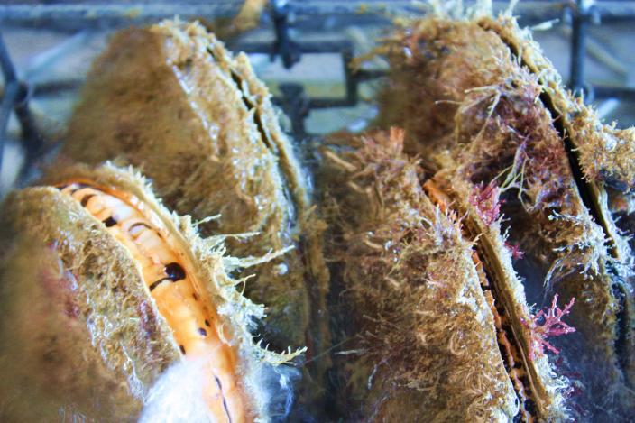 Pinctada maxima pearl oysters.