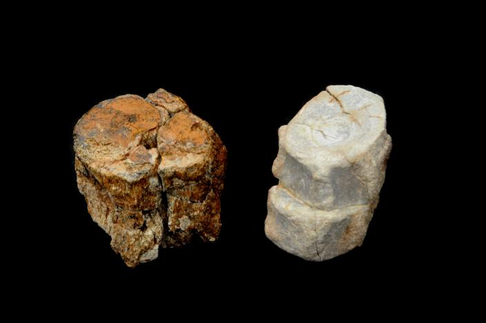 Image of a Elasmosaur vertebra (left) and ichthyosaur vertebrae (right).