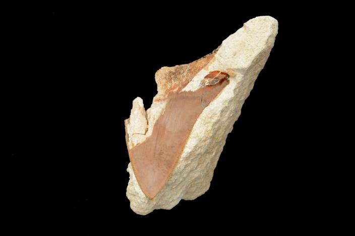 Image of a fossilised belonging to the extinct shark species Otodus
