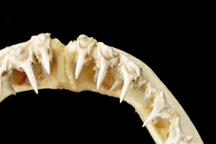 Image of shark teeth
