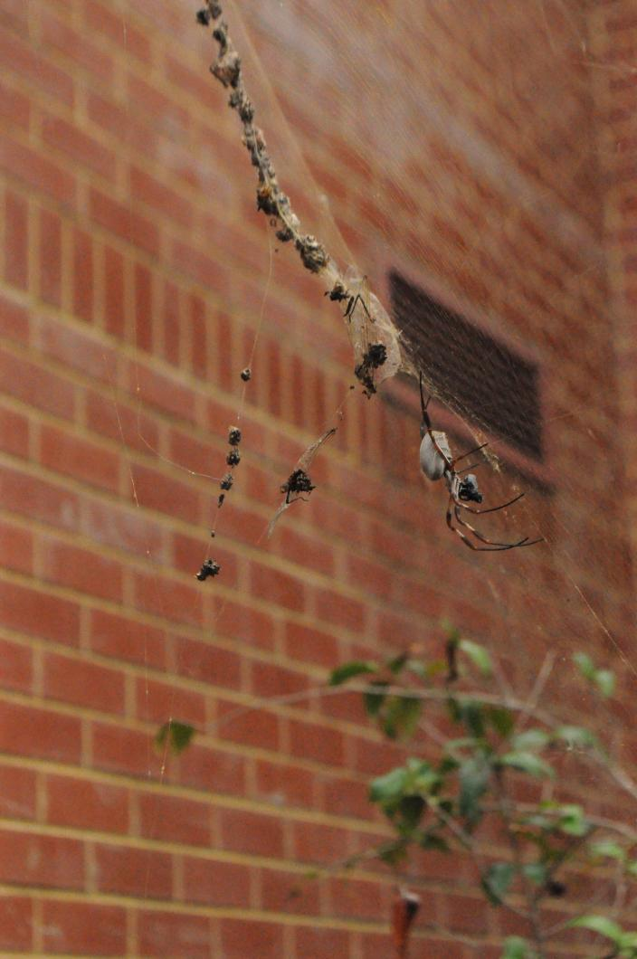 Australian Orb-Weaving Spider protecting its food cache in its web